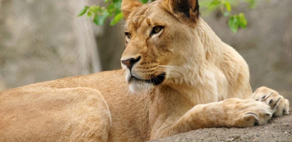 Indianapolio zoologijos sode liūtė nužudė savo patiną