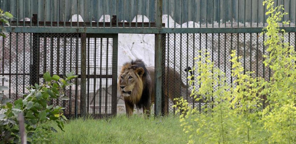 Indijoje liūtas sudraskė zoologijos sodo sieną perlipusį vyrą