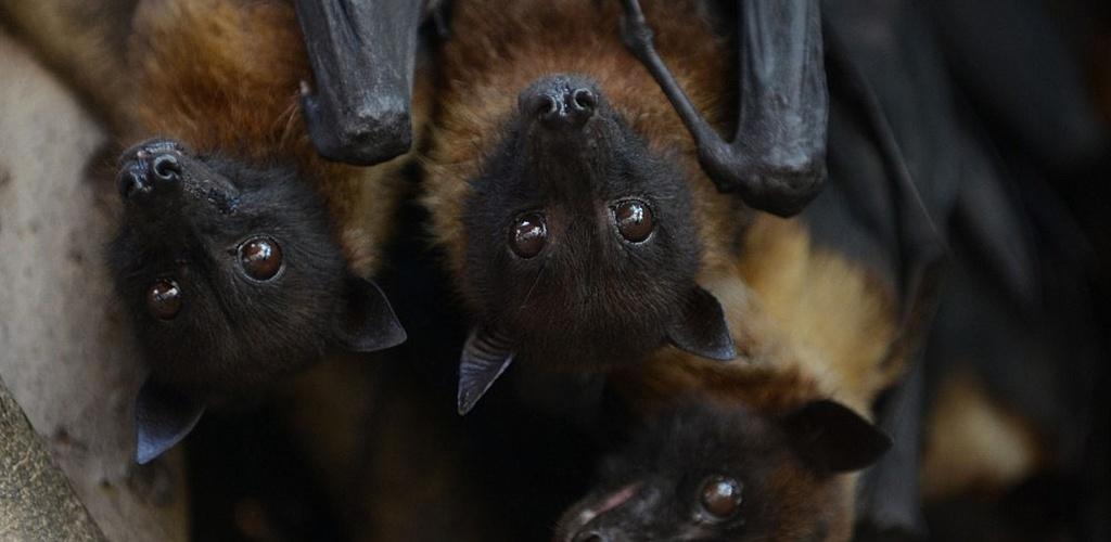 Manoma, kad šikšnosparnių nuodai gali būti naudojami gydymui