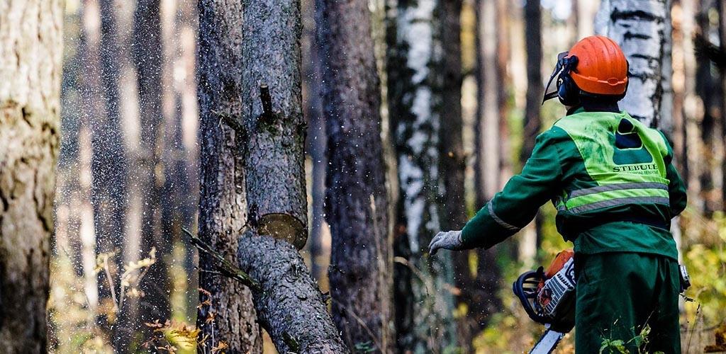 Seimas svarstys siūlymą riboti brandžių medžių kirtimą miestuose
